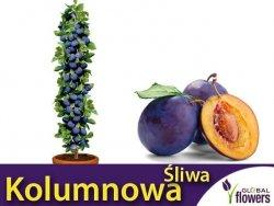DRZEWKO OWOCOWE Śliwa kolumnowa Imperial® (Prunus) Sadzonka C3,5