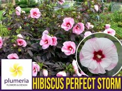 Hibiskus Bylinowy Summerific™ Ogromne Kwiaty 'Perfekt Storm' Sadzonka