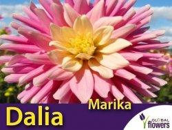 Dalia kaktusowa wysoka 'Marika' (Dahlia x cultorum) Kłącza 1 szt.