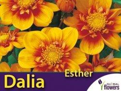 Dalia kołnierzykowa 'Esther' (Dahlia x cultorum) Kłącza 1 szt.