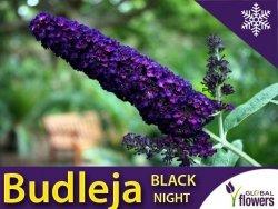 Budleja davidii BLACK NIGHT (Buddleja davidii) Sadzonka C1/C2
