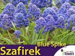 Szafirek pełny 'Blue Spice' (Muscari) CEBULKI 10 szt.