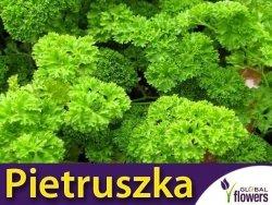 Pietruszka fryzowana/ kędzierzawa wieloletnia (Petroselinum crispum) Sadzonka