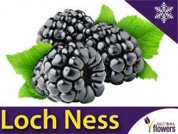Jeżyna bezkolcowa 'Loch Ness' (Rubus fruticosa) 3letnia Sadzonka C2 60-90cm