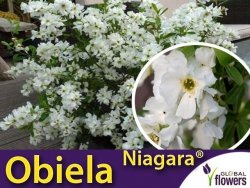 Obiela groniasta NIAGARA PBR (Exochorda racemosa) Sadzonka C1