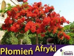 Płomień Afryki Wianowłostka królewska (Delonix Regia)