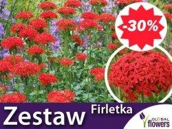 ZESTAW 24 x Firletka Chalcedońska 'Red' Sadzonka + Nawóz Gratis