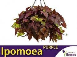 Ipomoea Sweet Caroline 'Purple' Sadzonka