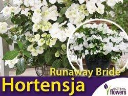 Hortensja RUNAWAY BRIDE® 'Snow White' (Hydrangea hybrid) Sadzonka C3