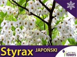 Styrak Japoński (Styrax japonicum) Sadzonka XL- C5 60-80cm
