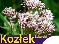 Kozłek lekarski (Valeriana officinalis) nasiona 0,2g