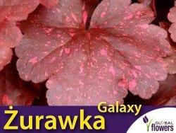 Żurawka Heuchera 'Galaxy' (Heuchera) Sadzonka