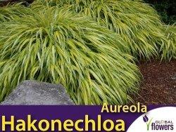 Hakonechloa macra AUREOLA - Bambusowa trawa- Sadzonka