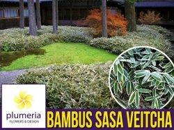 Bambus niski Mrozoodporny SASA VEITCHA (Sasa Veitcha) Sadzonka C2