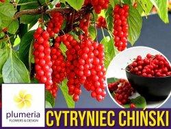 Cytryniec Chiński WU WEI ZI (Schisandra chinensis) C1