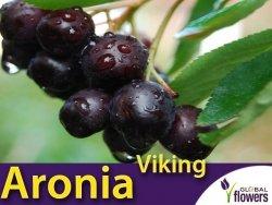 Aronia śliwolistna 'Viking' (Aronia × prunifolia) Sadzonka