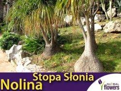 Nolina Stopa Słonia (Beaucarnea Recurvata) 10n