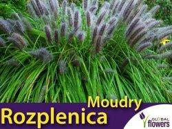 Rozplenica Piórkowa MOUDRY (Pennisetum) Sadzonka C1