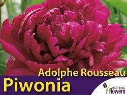 Piwonia chińska 'Adolphe Rousseau' (Peonia lactiflora) CEBULKA