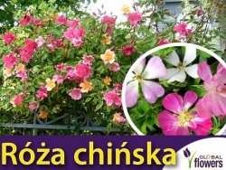 Róża chińska, różowa (Rosea chinesis) 0,2g Nasiona