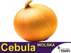 Cebula późna - Wolska  (Allium cepa) XL 100g