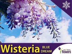 Wisteria Glicynia kwiecista BLUE DREAM 3 letnia Sadzonka 60-90cm