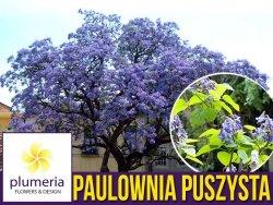 Paulownia Puszysta - Cesarskie Drzewko Szczęscia (Paulownia Tomentosa) Sadzonka XXL-C6 100-120 cm