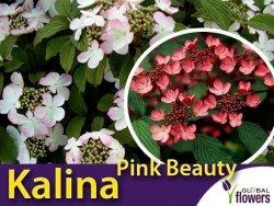 Kalina japońska 'Pink Beauty' (Viburnum plicatum) sadzonka