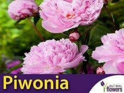 Piwonia chińska różowa Sarah Bernhardt (Peonia lactiflora) CEBULKA
