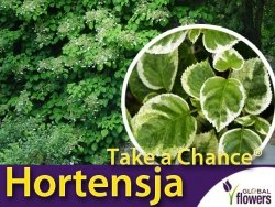 Hortensja pnąca TAKE A CHENSE (Hydrangea anomala) 3 letnia Sadzonka C2