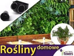 Rośliny do ogrodu wertykalnego. Paproć (Davallia) zestaw sadzonek