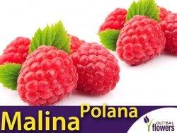 Malina właściwa 'Polana' (Rubus idaeus) doniczkowana Sadzonka