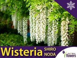 Wisteria Glicynia kwiecista SHIRO NODA (Wisteria floribunda) 3letnia Sadzonka 60-90cm