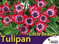 Tulipan botaniczny 'Little Beauty' (Tulipa) CEBULKI 5 szt.