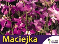 Maciejka dwuroga pachnąca (Mathiola bicornis) 5g