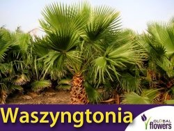 Waszyngtonia nitkowata (Washingtonia filifera) 5 szt