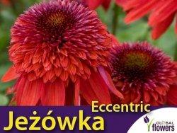 Jeżówka ECCENTRIC (Echinacea) Sadzonka C1