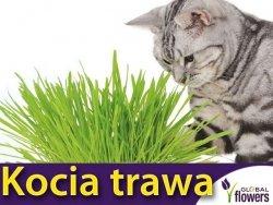 Kocia Trawa (Cat Grass) nasiona 25g