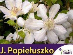 Clematis Powojnik 'Jerzy Popiełuszko' Sadzonka