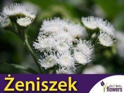 Żeniszek meksykański, biały (Ageratum houstonianum) 0,3g nasiona