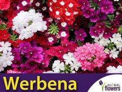 Werbena ogrodowa - Witułka, mieszanka (Verbena x hybrida) 0,5g