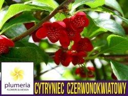 Cytryniec Czerwonokwiatowy męski (Schisandra rubriflora) 3letnia Sadzonka C2
