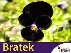 Bratek Wielkokwiatowy 'Black King' (Viola x wittrockiana) nasiona 0,4 g