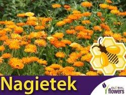 Roślina Miododajna NAGIETEK LEKARSKI (Calendula officinalis ) nasiona XXL 100g