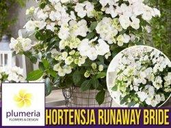 Hortensja RUNAWAY BRIDE  'Snow White' (Hydrangea hybrid) Duża Sadzonka XL-C5 OUTLET