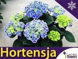 Hortensja ogrodowa 'Bavaria' (Hydrangea macrophylla) Wielokolorowa Sadzonka