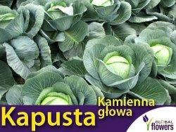 Kapusta późna Kamienna Głowa XL 100g (Brassica oleracea Convar. Capitata var. Alba)