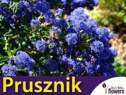 Prusznik Niebieski 'Victoria' (Ceanothus) Sadzonka