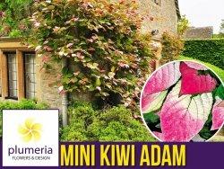 Mini Kiwi ADAM ♂ (Aktinidia pstrolistna) Sadzonka C1