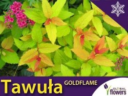 Tawuła Japońska 'Goldflame' (Spiraea japonica) Sadzonka